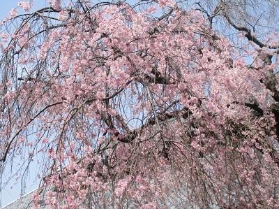2021年の桜(2)_f0197754_17583980.jpg