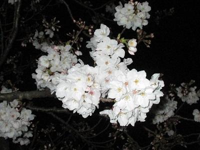 2021年の桜(2)_f0197754_18213639.jpg