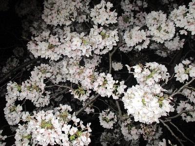 2021年の桜(2)_f0197754_18214393.jpg