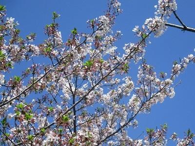 2021年の桜(3)-水門川沿い 落花-_f0197754_18394065.jpg