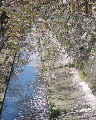 2021年の桜(3)-水門川沿い 落花-_f0197754_18394332.jpg