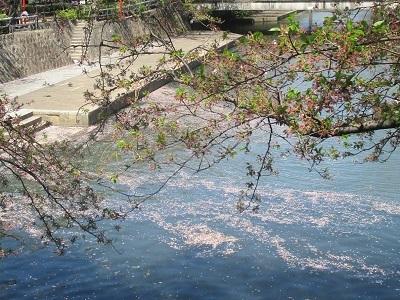 2021年の桜(3)-水門川沿い 落花-_f0197754_18395728.jpg