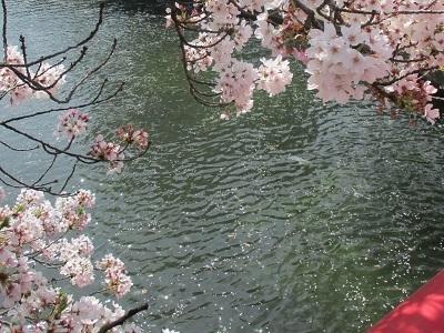 2021年の桜(3)-水門川沿い 落花-_f0197754_18401889.jpg