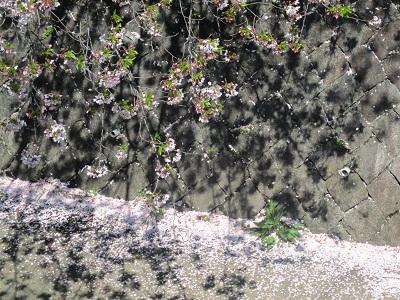 2021年の桜(3)-水門川沿い 落花-_f0197754_18411465.jpg