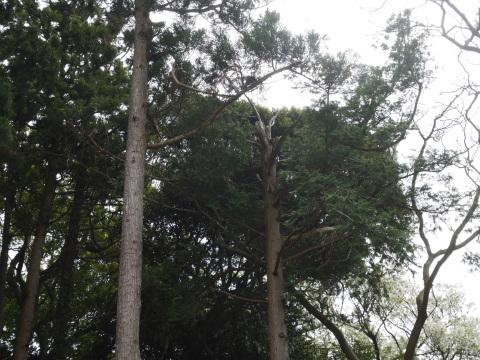幹が空洞化した形状不良のスギ伐採4・4六国見山手入れ(下)_c0014967_17572758.jpg