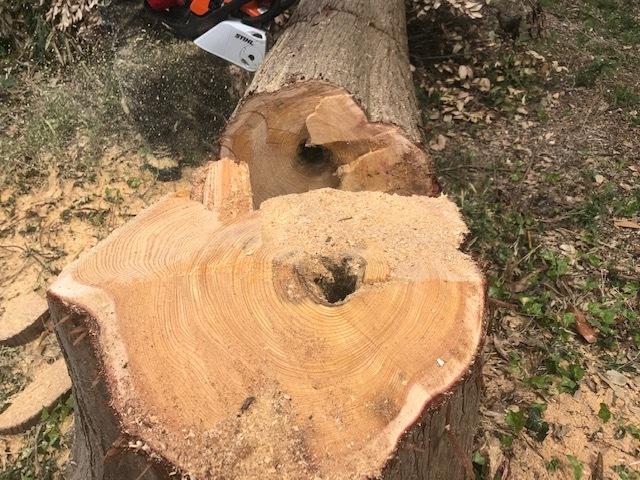 幹が空洞化した形状不良のスギ伐採4・4六国見山手入れ(下)_c0014967_17573934.jpg
