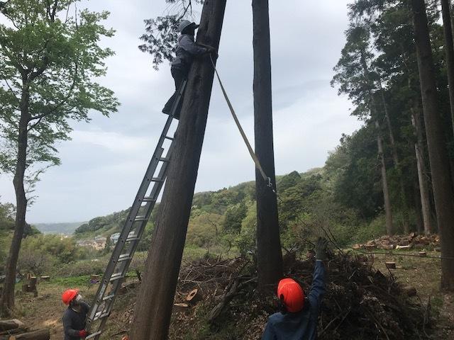幹が空洞化した形状不良のスギ伐採4・4六国見山手入れ(下)_c0014967_17583481.jpg