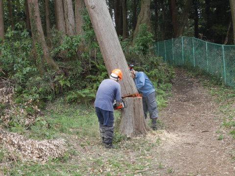 幹が空洞化した形状不良のスギ伐採4・4六国見山手入れ(下)_c0014967_18003779.jpg