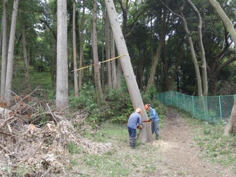 幹が空洞化した形状不良のスギ伐採4・4六国見山手入れ(下)_c0014967_18005194.jpg