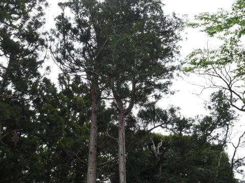 幹が空洞化した形状不良のスギ伐採4・4六国見山手入れ(下)_c0014967_18025566.jpg