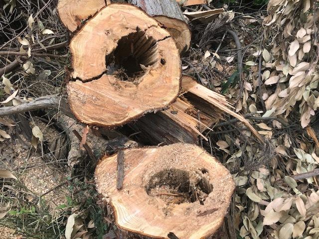 幹が空洞化した形状不良のスギ伐採4・4六国見山手入れ(下)_c0014967_18030848.jpg