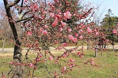 弘前公園で春探し_2021.04.02撮影_d0131668_17354265.jpg