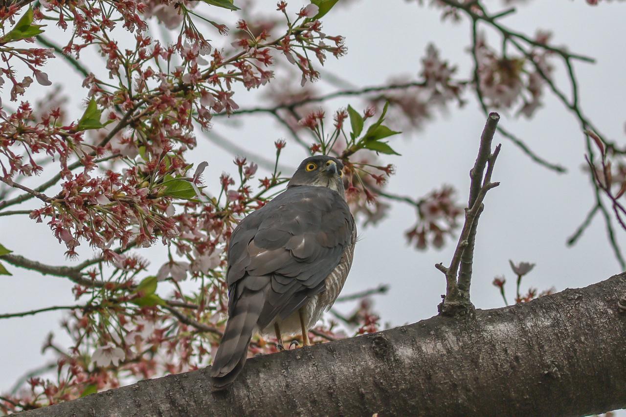 桜とツミ_a0052080_16310291.jpg