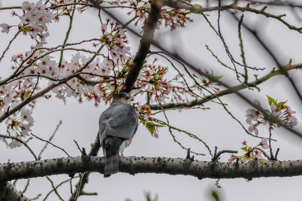 桜とツミ_a0052080_16320376.jpg