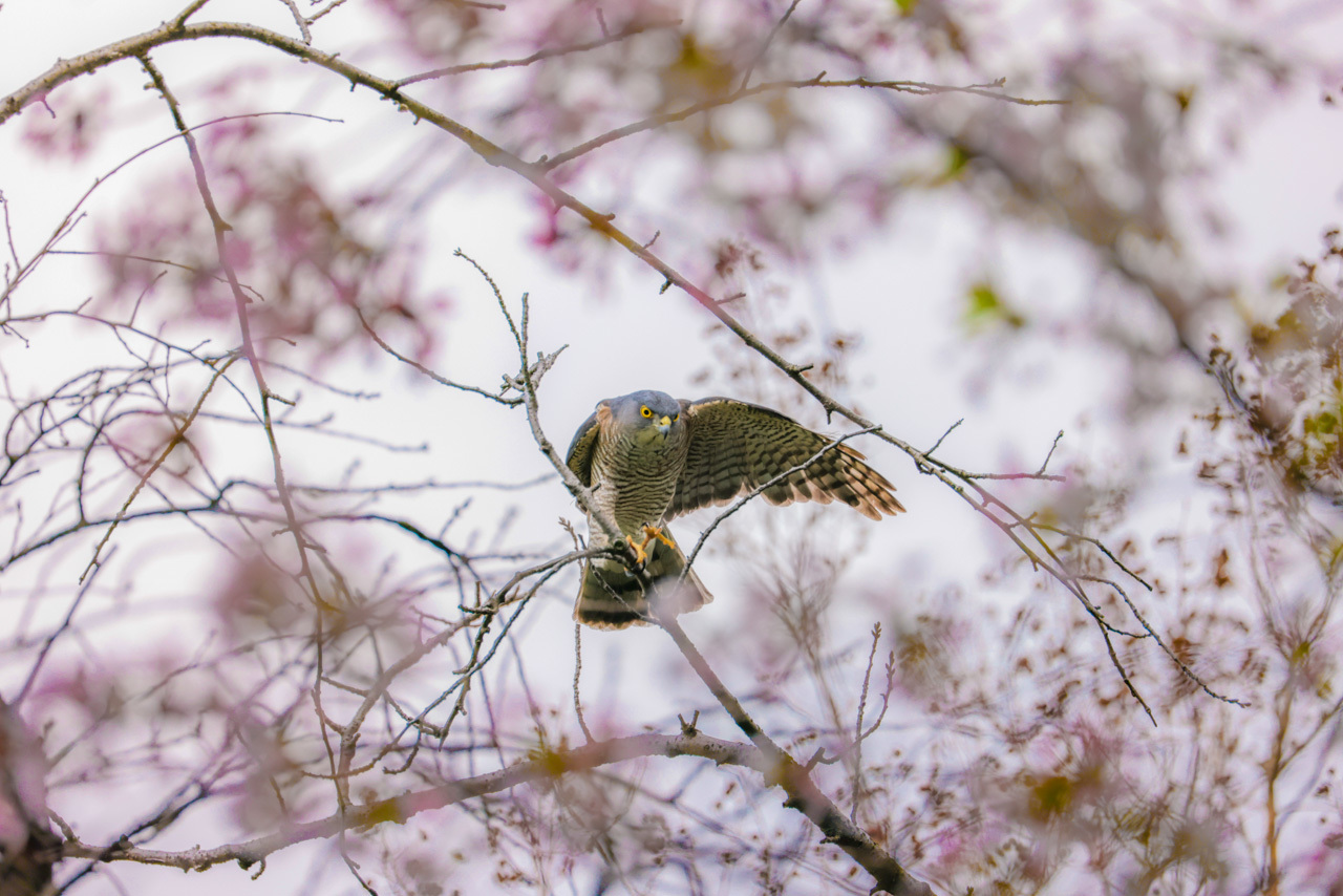 桜とツミ_a0052080_17044442.jpg