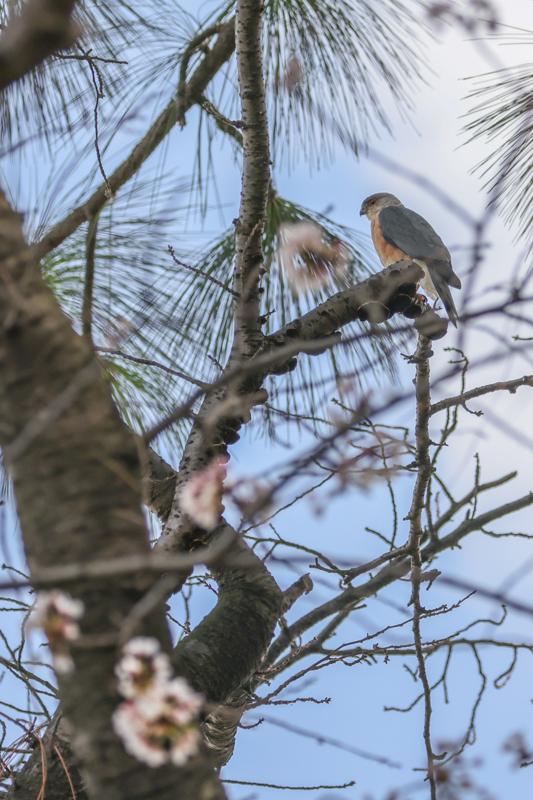桜とツミ_a0052080_17105498.jpg