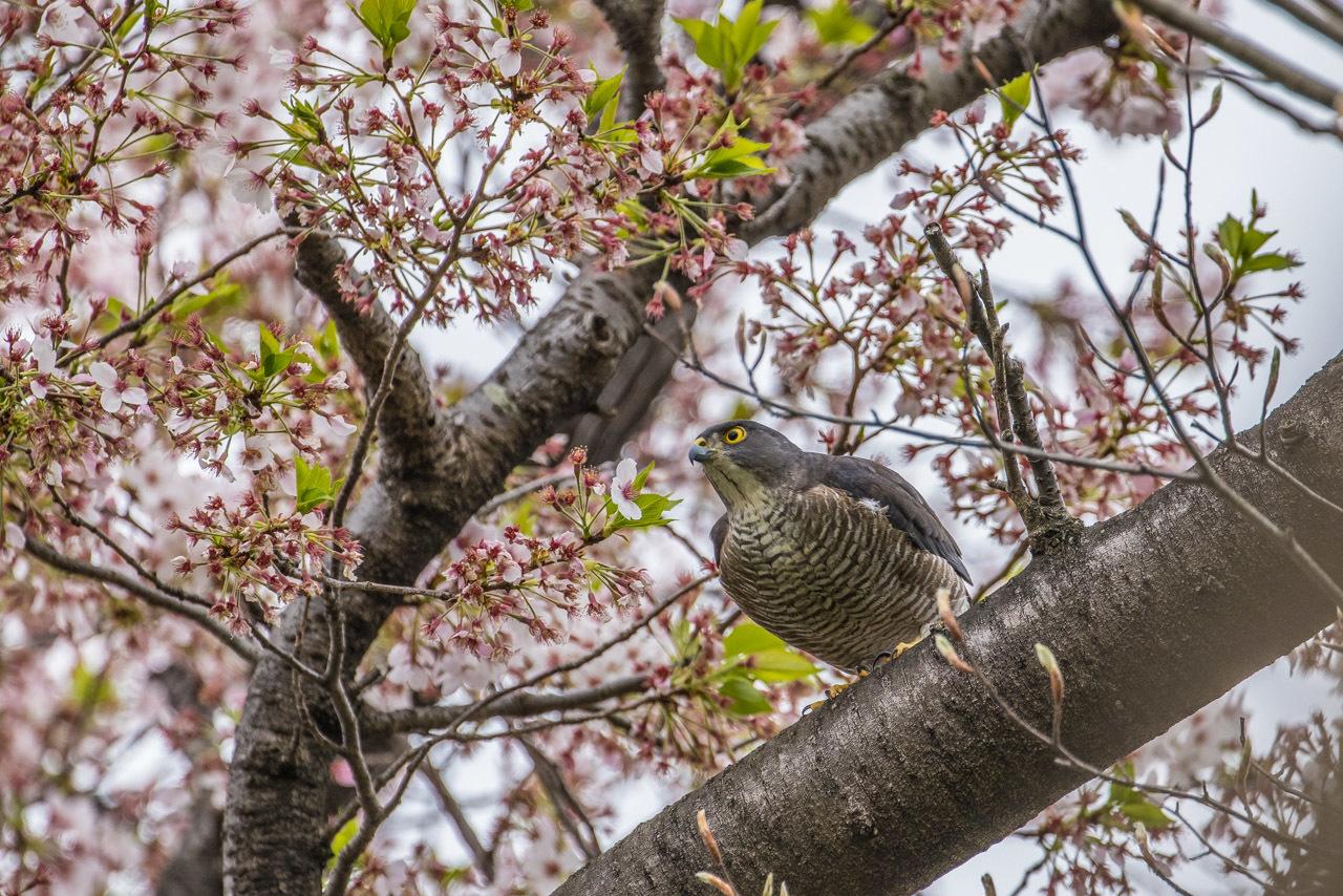 桜とツミ_a0052080_17120992.jpg