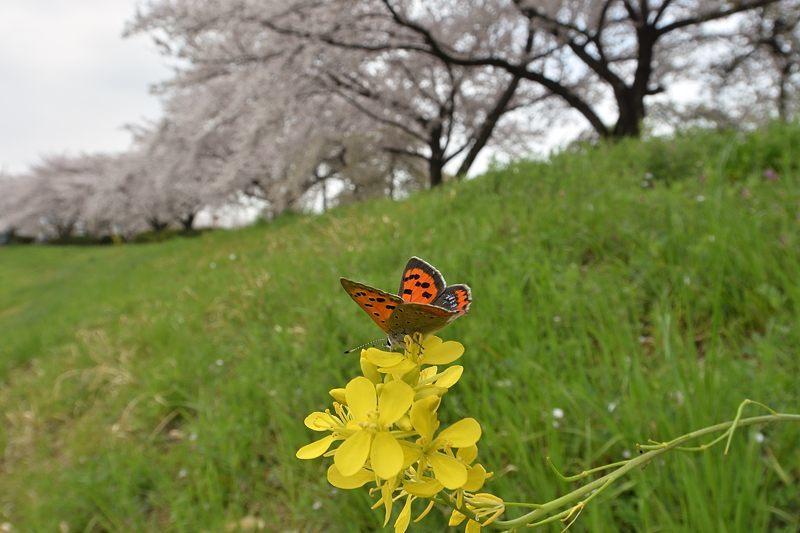 小畔川便り(桜満開:2021/3/29.30)_f0031682_21123928.jpg
