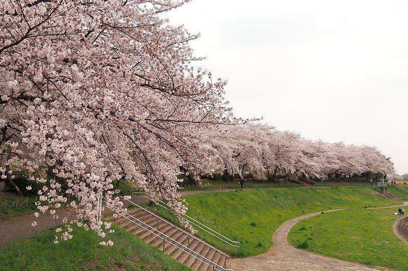 小畔川便り(桜満開:2021/3/29.30)_f0031682_21123934.jpg