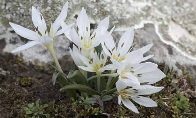 続・この花の名前は??銀杯草でした。_e0397389_15453324.jpeg