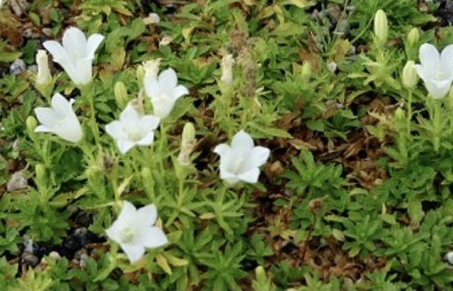 続・この花の名前は??銀杯草でした。_e0397389_15455236.jpeg