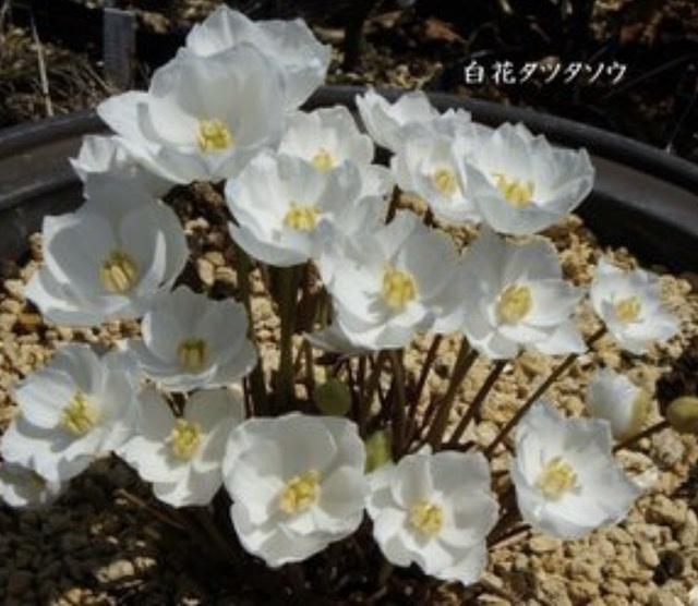 続・この花の名前は??銀杯草でした。_e0397389_15461708.jpeg