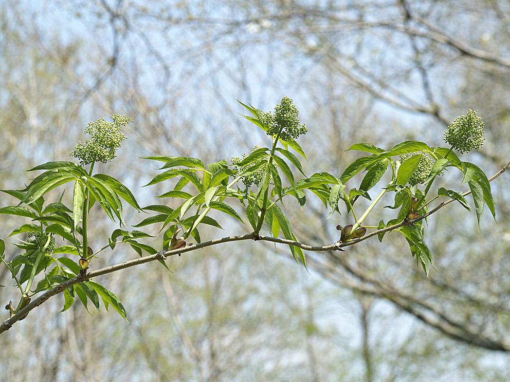 冬芽の展開(3) ニワトコ_d0163696_17524898.jpg