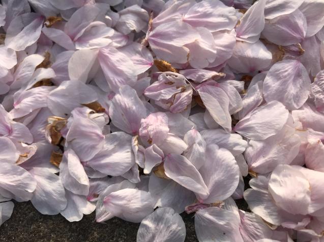 桜から新緑へ / yoshi_d0135801_21130418.jpg