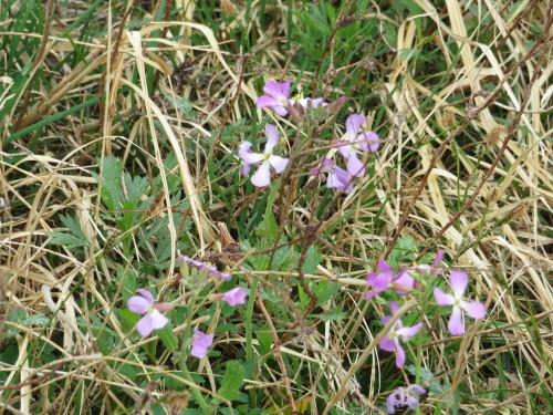 角田山の花はカタクリからイカリソウへ_a0309917_19132851.jpg