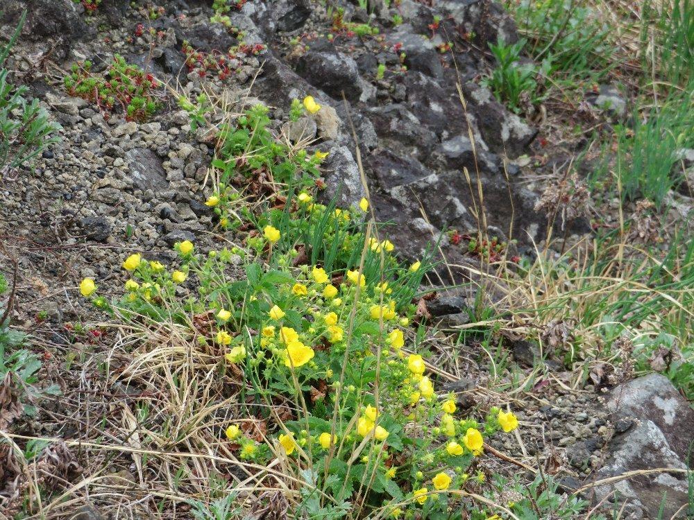 角田山の花はカタクリからイカリソウへ_a0309917_19142927.jpg