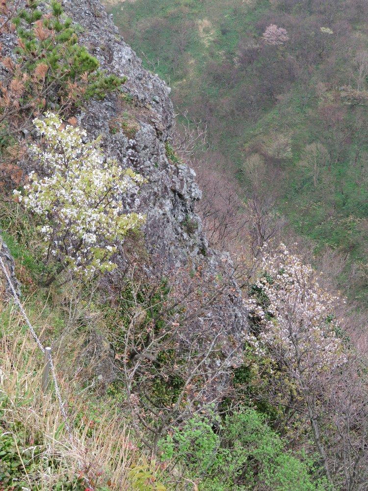 角田山の花はカタクリからイカリソウへ_a0309917_19152543.jpg