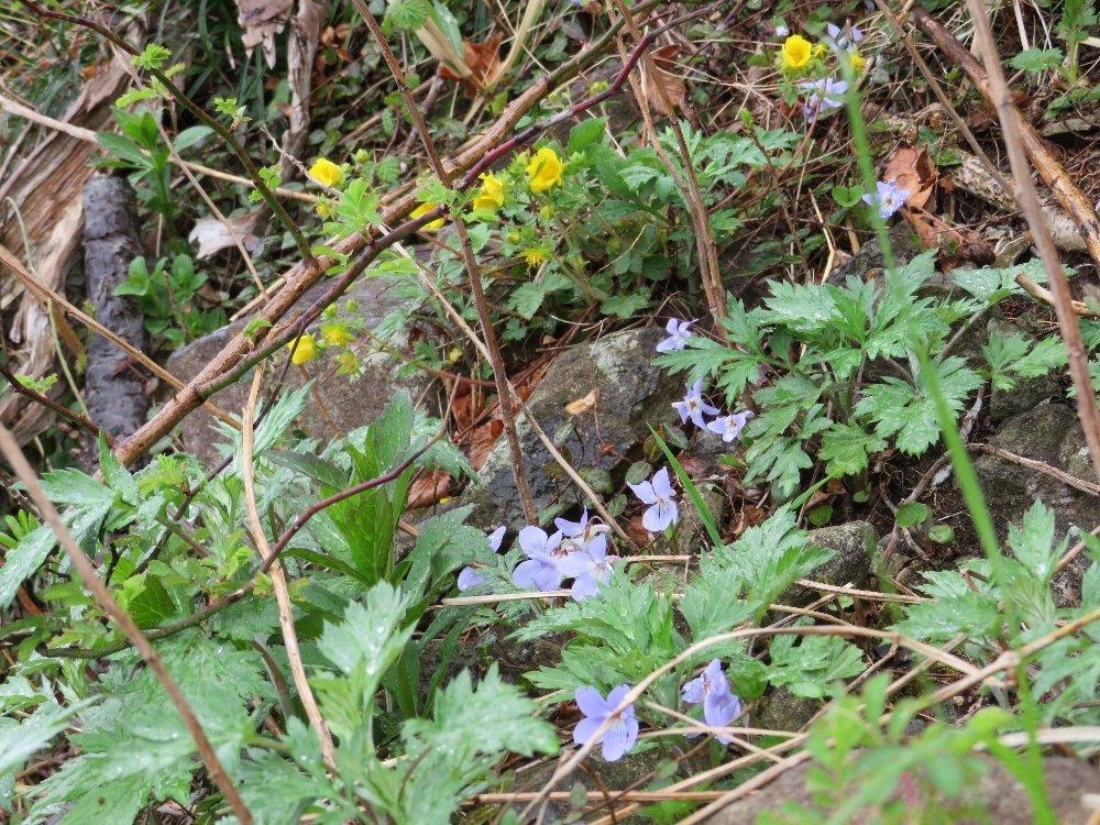 角田山の花はカタクリからイカリソウへ_a0309917_19174697.jpg