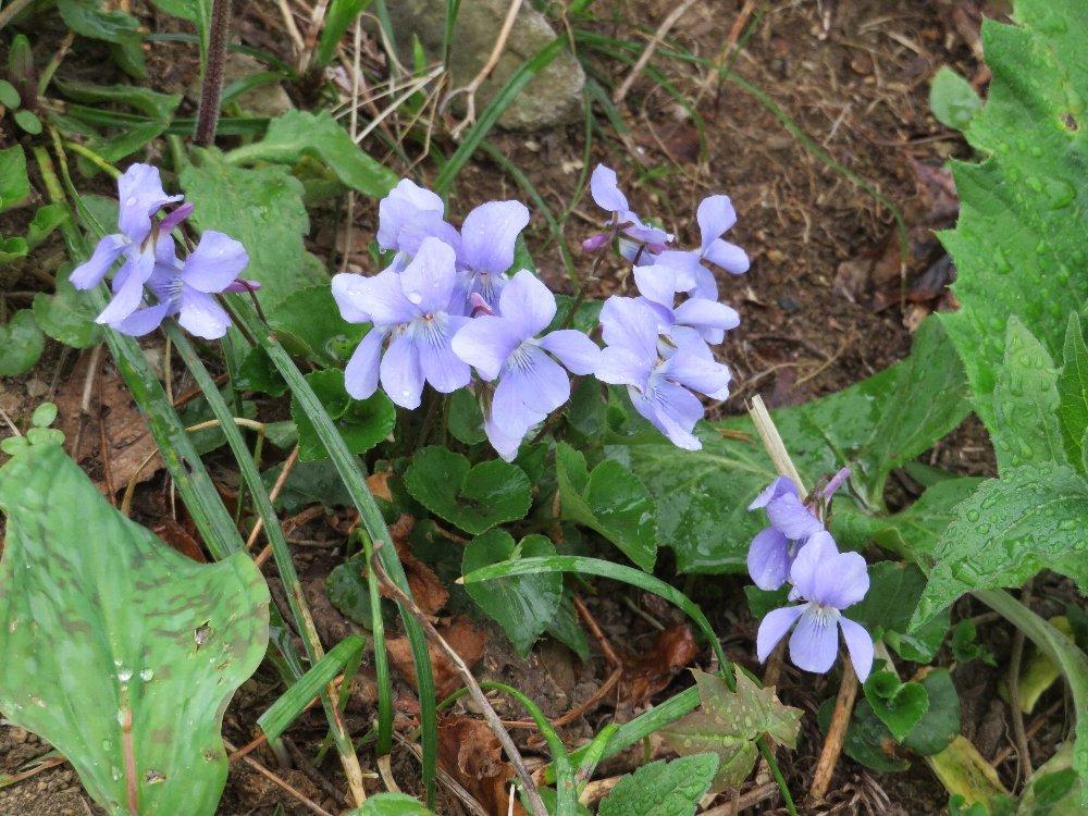 角田山の花はカタクリからイカリソウへ_a0309917_19182256.jpg