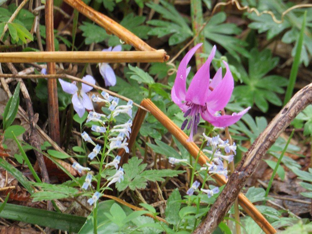 角田山の花はカタクリからイカリソウへ_a0309917_19191195.jpg