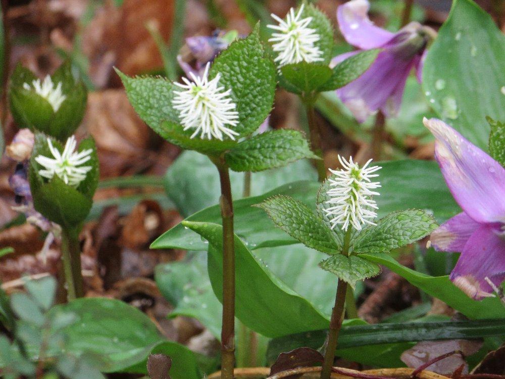 角田山の花はカタクリからイカリソウへ_a0309917_19204679.jpg