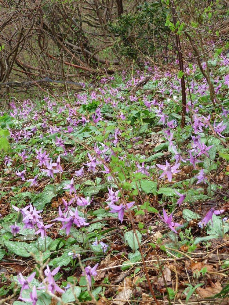 角田山の花はカタクリからイカリソウへ_a0309917_19211777.jpg