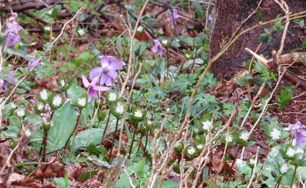 角田山の花はカタクリからイカリソウへ_a0309917_19214254.jpg