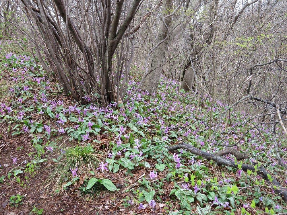 角田山の花はカタクリからイカリソウへ_a0309917_19253427.jpg