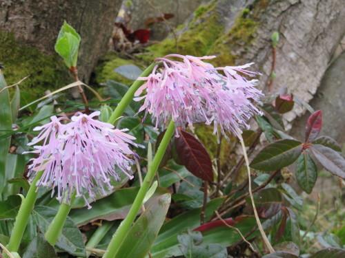 角田山の花はカタクリからイカリソウへ_a0309917_19265326.jpg