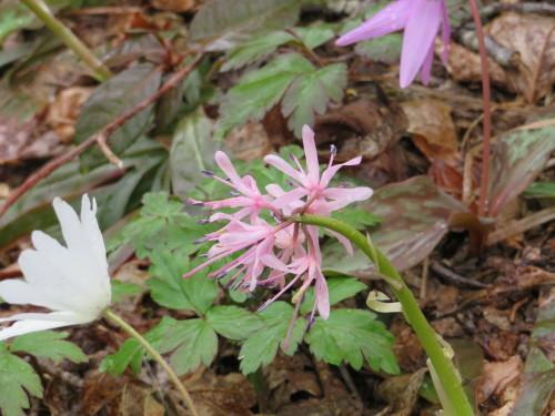 角田山の花はカタクリからイカリソウへ_a0309917_19272134.jpg