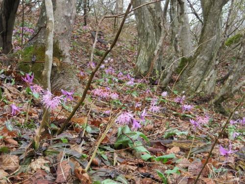 角田山の花はカタクリからイカリソウへ_a0309917_19285486.jpg