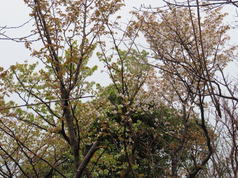 角田山の花はカタクリからイカリソウへ_a0309917_19353106.jpg