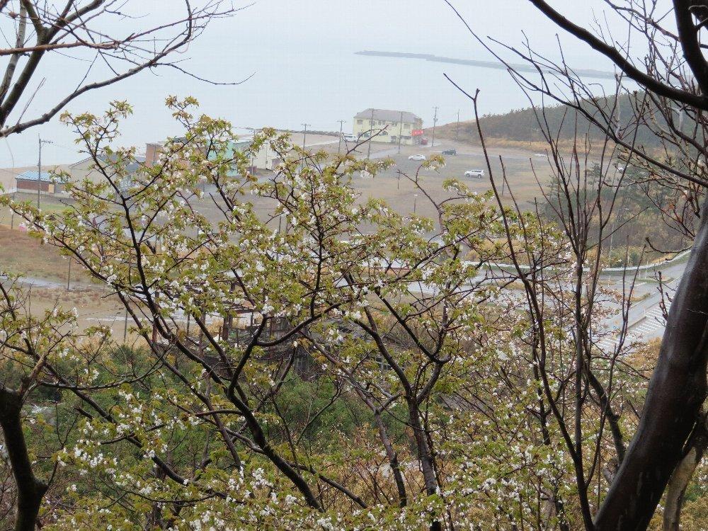 角田山の花はカタクリからイカリソウへ_a0309917_19355804.jpg