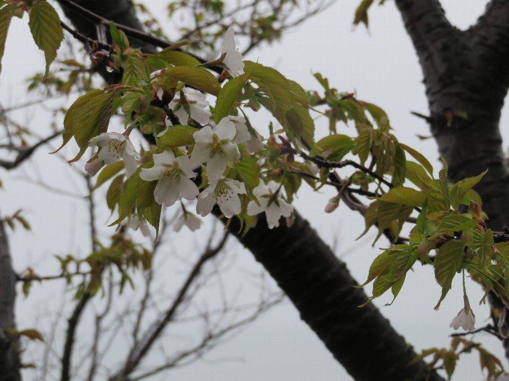 角田山の花はカタクリからイカリソウへ_a0309917_19362009.jpg