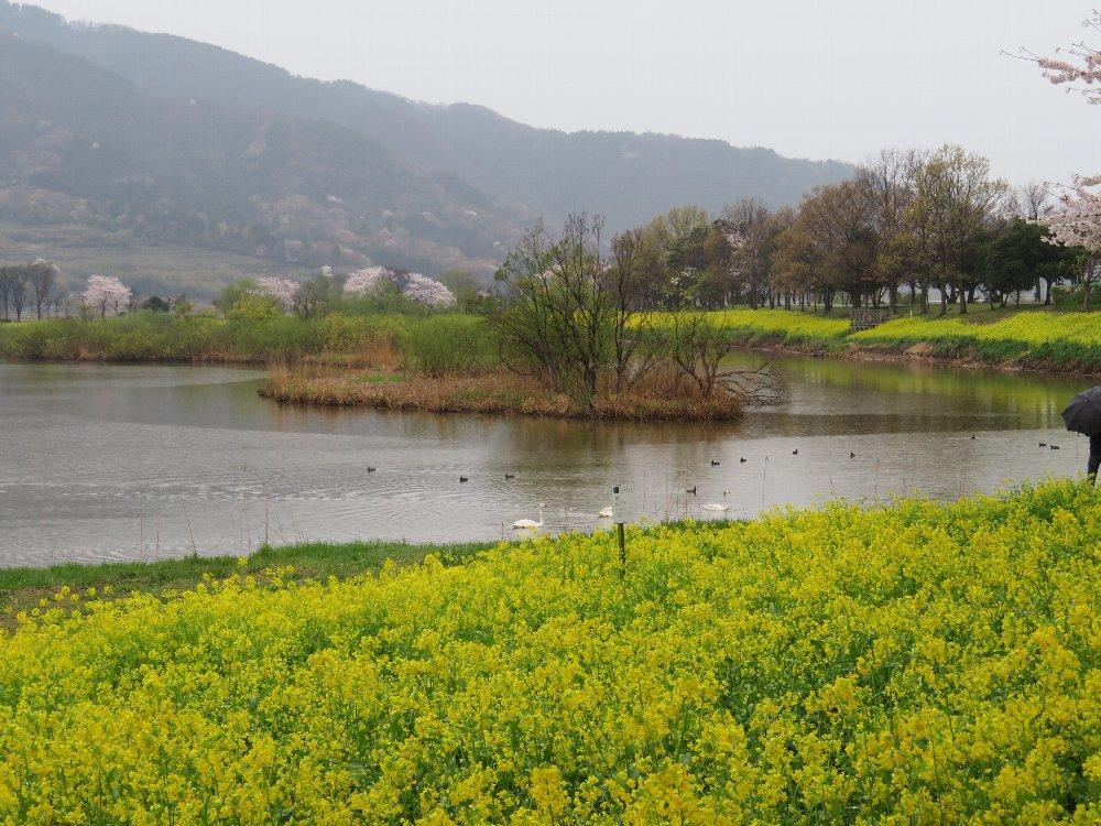 角田山の花はカタクリからイカリソウへ_a0309917_19374267.jpg