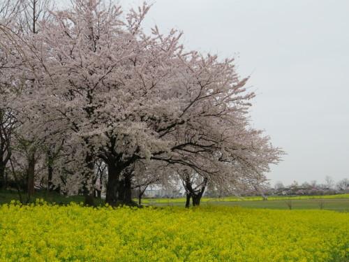 角田山の花はカタクリからイカリソウへ_a0309917_19383548.jpg