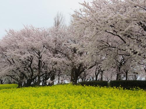 角田山の花はカタクリからイカリソウへ_a0309917_19390335.jpg