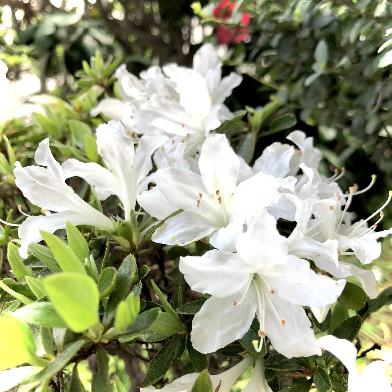 人魚楼日記 つつじの花が繊細な半透明_e0016517_18195702.jpeg