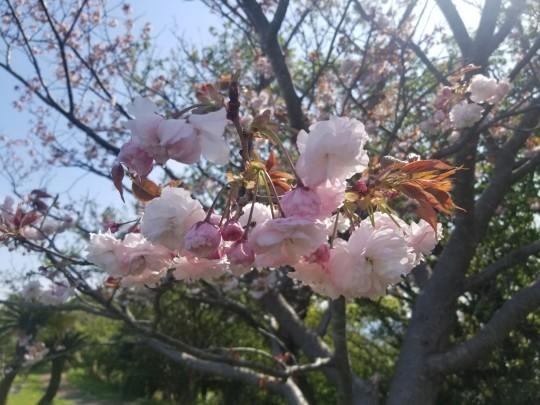 ♪2021年春★お花見模様(鎌倉~逗子~葉山)_d0162225_21224766.jpg
