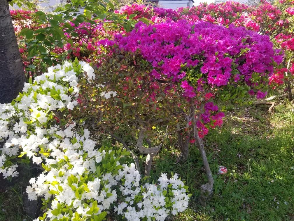 ♪2021年春★お花見模様(鎌倉~逗子~葉山)_d0162225_21231503.jpg
